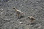 Thumbnail Chukar Alectoris chukar with chick, a type of pheasant in Haleakala National Park, Maui Island, Hawaii, USA, North America