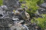 Thumbnail Chukar Alectoris chukar, a type of pheasant in Haleakala National Park, Maui Island, Hawaii, USA, North America