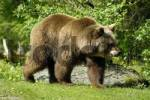 Thumbnail European Brown Bear ursus arctos, zoo Hellabrunn, Munich, Bavaria, Germany