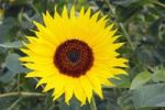 Thumbnail Common Sunflower Helianthus annuus, flower, Germany