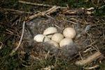 Thumbnail Greylag Goose Anser anser nest