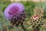 Thumbnail Flowering Cardoon or Artichoke Thistle Cynara cardunculus