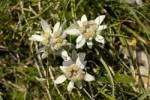 Thumbnail three edelweiss Leontopodium alpinum in the meadow