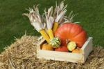 Thumbnail Pumpkins and corn on the cobs in a wooden box on straw