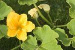 Thumbnail Cucurbita blossom Cucurbita