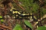Thumbnail Fire Salamander Salamandra salamandra in the wood