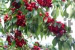 Thumbnail cherries from the Kaiserstuhl