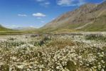 Thumbnail Meadow with flowering Daisies and Aconite or Monkshood, Chuya Steppe, Saylyugem Mountains, Altai Republic, Siberia, Russia, Asia