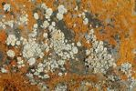 Thumbnail Patterns of Lichens on rocks, Saylyugem Mountains, Tschuja Steppes, Altai Republic, Siberia, Russia, Asia