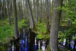 Thumbnail Alder tree forest in a high water area, Mecklenburg Lake District, Mecklenburg-Western Pomerania, Germany, Europe