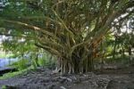 Thumbnail Banyan tree Ficus near Rainbow Falls, Hilo, Big Island, Hawaii, Hawaii, USA
