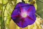 Thumbnail Blossom of a Morning Glory Ipomea purpurea with withered foliage, backlight
