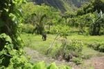 Thumbnail Thick tropical vegetation and wild horses in the Waipio Valley, Big Island, Hawaii, Hawaii, USA