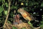 Thumbnail Linnet Acanthis cannabina, male, feeding young birds in its nest