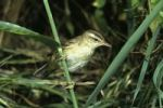 Thumbnail Sedge Warbler Acrocephalus schoenobaenus in a reed thicket