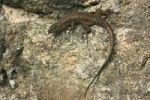 Thumbnail Wall Lizard Lacerta muralis