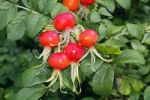 Thumbnail Rugosa Rose, Japanese Rose, or Ramanas Rose Rosa rugosa, rosehips and leaves
