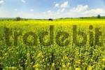 Thumbnail rapefield, Bavaria, Photoshop-artistic-filter,
