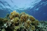 Thumbnail Coral reef with Fire Coral Millepora tenella Red Sea, Egypt, Africa