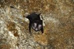 Thumbnail Bat Microchiroptera hanging from the top of a cave, Nam Lan Conservation Area NLCA, Phongsali Province, Laos, Southeast Asia