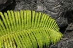 Thumbnail Lava and pioneer fern in the Volcanoes National Park, Big Island, Hawaii, Hawaii, USA