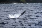 Thumbnail Spinner Dolphin Stenella longirostris, famous for its artistic jumps, Lanai, Hawaii, Hawaii, USA