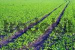 Thumbnail tracks of a tractor on a field cultivated with young plants