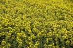Thumbnail Field of sunflowers Helianthus annuus