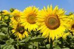 Thumbnail Sunflowers Helianthus annuus
