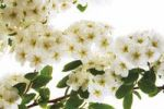 Thumbnail Flowering Meadowsweet Spiraea