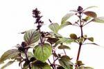 Thumbnail Basil Ocimum basilicum