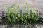 Thumbnail grass growing out of tarred street