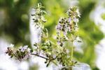 Thumbnail Blooming Lemon Thyme Thymus  citriodorus