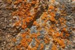 Thumbnail Orange colored lichen on rocks in Sleepy Bay, Freycinet Peninsula, Tasmania, Australia