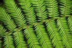 Thumbnail Fern frond, close-up, Tasmania, Australia