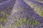 Thumbnail Lavender field, Plateau de Valensole, Provence, France, Europe