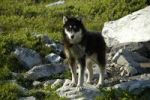 Thumbnail Sled dog chained to a rock on a green meadow, Tiniteqilaaq, East Greenland, Arctic