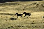 Thumbnail Two young horses running in the steppe in the play of light and shadow, Karkhiraa, Mongolian Altai Mountains near Ulaangom, Uvs Aimag, Mongolia, Asia