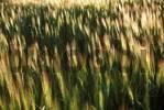 Thumbnail grain field Spain