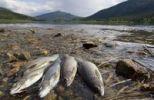 Thumbnail Fishermens prey, Arctic Grayling Thymallus arcticus, on the shore of Yukon River, Teslin River, Hootalinqua, Yukon Territory, Canada, North America