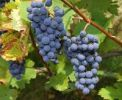 Thumbnail Blue Grapes