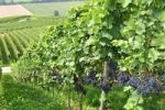 Thumbnail Vineyard with blue grapes, wine-growing region of Dietingen, Canton of Zurich, Switzerland, Europe