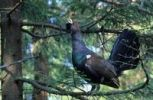 Thumbnail Capercaillie or Wood Grouse or Western Capercaillie Tetrao urogallus, bird performing a courtship display while perched in a tree
