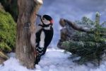 Thumbnail Great Spotted Woodpeckers Dendrocopus major in winter