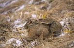 Thumbnail European Hare or Brown Hare or March Hare Lepus europaeus, sitting, in winter