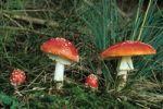 Thumbnail Fly Agaric or Fly Amanita Amanita Muscaria, mushroom