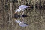 Thumbnail Grey Heron Ardea cinerea and its reflection