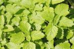 Thumbnail Light yellow leaves of the Lemon balm Melissa officinalis plant