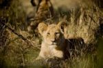 Thumbnail Lion Panthera leo cub lying in the grass, Okavango Delta, Botswana, Africa