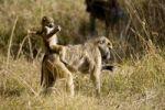 Thumbnail Young Baboon Papio on its mothers back, Okavango Delta, Botswana, Africa